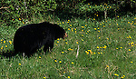 A black bear eats grass and dandelions in Banff National Park, Alberta Canada.