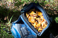 Finding better uses for the camera bag — an impromptu haul of chanterelle mushrooms.