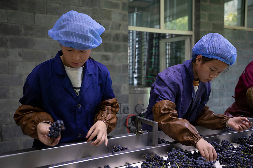 China - Ningxia - Workers sorting grape berries at Helan Qingxue Vineyard.<br /> <br /> Located 5 kilometres from the foot of the Helan mountains, the Helan Qingxue Vineyard is one of the oldest and best wineries in Ningxia. Its cabernet sauvignon won the International Trophy at the 2011 Decanter World Wine Awards and was instrumental in giving exposure to the Ningxia wine industry. Helan Quinxue's wines are currently exported to Europe, Singapore and Macau.