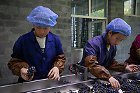 China - Ningxia - Workers sorting grape berries at Helan Qingxue Vineyard.<br /> <br /> Located 5 kilometres from the foot of the Helan mountains, the Helan Qingxue Vineyard is one of the oldest and best wineries in Ningxia. Its cabernet sauvignon won the International Trophy at the 2011 Decanter World Wine Awards and was instrumental in giving exposure to the Ningxia wine industry. Helan Quinxue&rsquo;s wines are currently exported to Europe, Singapore and Macau.