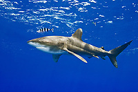 Oceanic Whitetip Shark, Carcharhinus longimanus, with Pilotfish, Naucrates ductor, off Kona, Big Island, Hawaii, Pacific Ocean