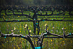 Bud Break in Napa Valley vineyard