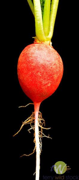 Red cherry radish study.
