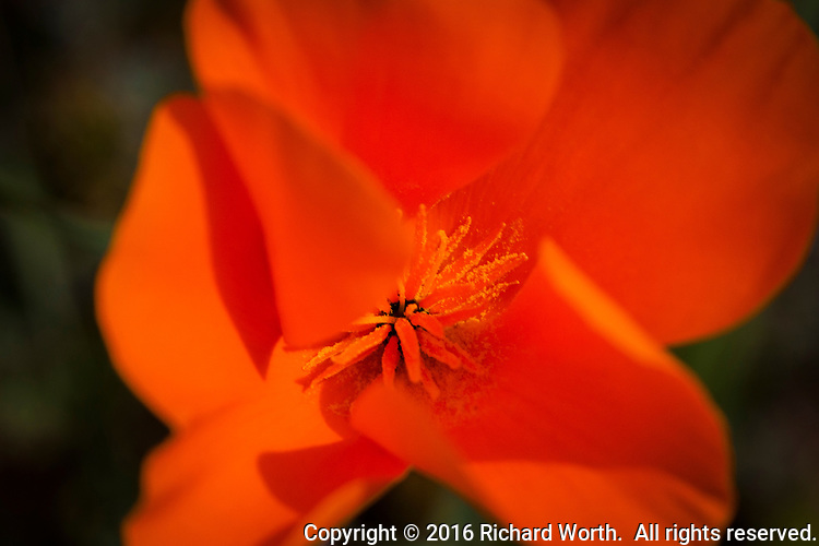 California poppy close-up, found along the shores of Lake Chabot in Alameda County, California, on the day before the official first day of spring, 2016.