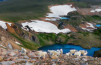 Mountain Goat herd (Oreamnos americanus) in the Beartooth Mountains near the Wyoming/Montana border.  Mostly a nanny and kid group among granite boulders on the Beartooth Plateau above upper Twin Lakes Basin.  July.