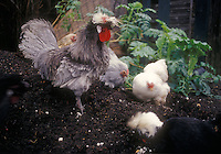 different kinds of chickens roosters digging in soil in garden, Heirloom breed white crested Blue Polish rooster,