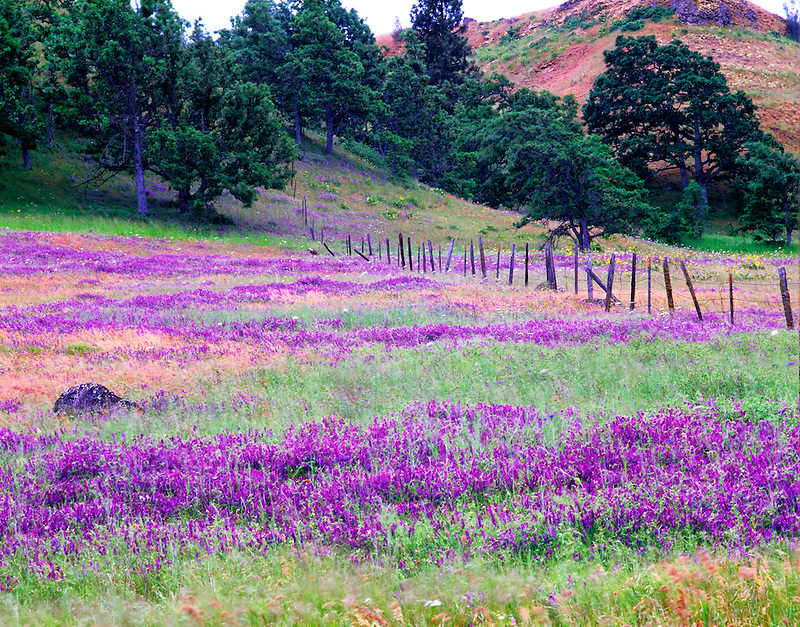 Flowering vetch in pasture with fence. Columbia River Gorge National Scenic Area, Oregon