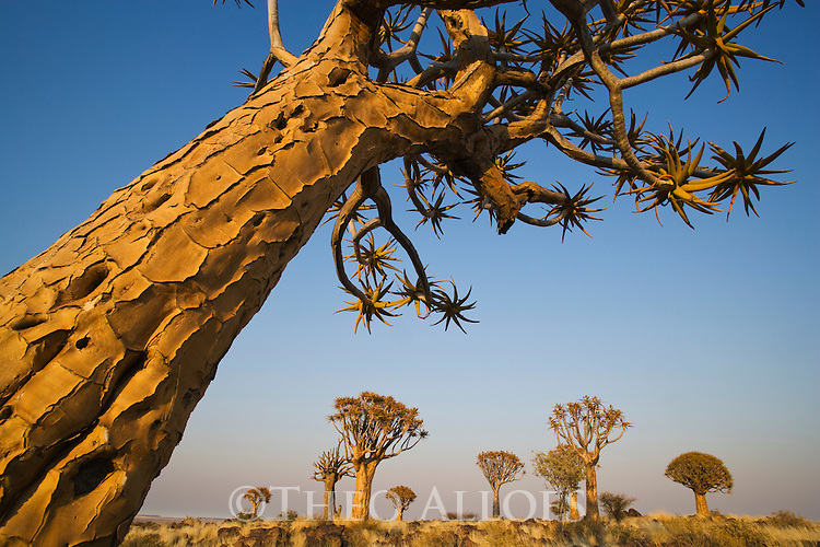 Quiver trees (Aloe dichotoma) at sunrise. The branches are being used by bushmen (san) as quivers for their arrows. Quiver trees only occur in southwestern Africa in and along the edges of the Namib Desert.