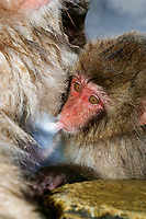 Japanese macaque, or snow monkey, Macaca fuscata, baby, mother, nursing, Japan