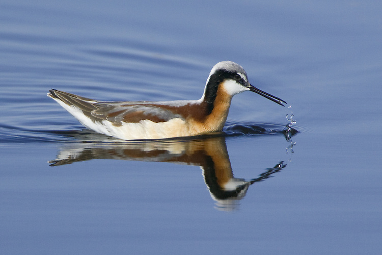 Wilson's Phalarope swimming on a marsh