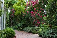 Lagerstroemia 'Tuskegee', Tuskegee Crepe Myrtle tree flowering by brick path in Gamble Garden, Palo Alto, California