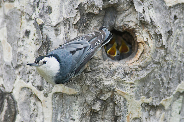 White-breasted Nuthatch, Sitta carolinensis,adult male at nesting cavity in aspen tree, Rocky Mountain National Park, Colorado, USA