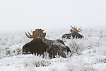 Two bull moose rest among snow-covered sagebrush in northwest Wyoming.