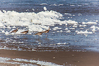 Four Whimbrels on a beach with foam, phytoplankton, in the background.