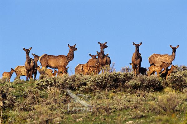 Rocky Mt. Elk cows and calves (Cervus elaphus), Western U.S., June.