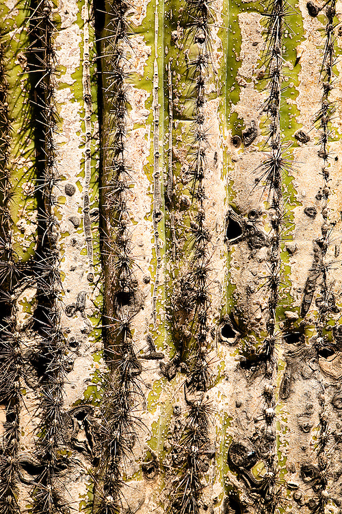 Close-up of a saguaro cactus, Arizona