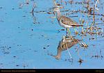 Greater Yellowlegs, Bosque del Apache Wildlife Refuge, New Mexico