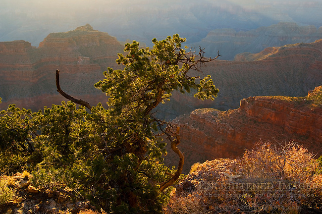 Sunset light on Colorado Pinyon pine (Pinus edulis) tree along the North Rim at Point Sublime, Grand Canyon National Park, Arizona