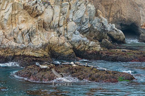 Harbor seals (Phoca vitulina) resting on rock.  Along California Coast.