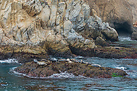 Harbor seals (Phoca vitulina) resting on rock.  Along California Coast.