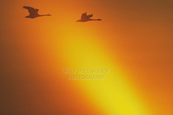 Tundra Swan (Cygnus columbianus), pair in flight at sunset, Raleigh, Wake County, North Carolina, USA