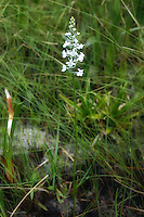 A snowy orchid growing in the acidic soil of a seepage bog in the Apalachicola National Forest.