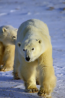 Two Polar Bears approach across frozen tundra.  Northern Canada.