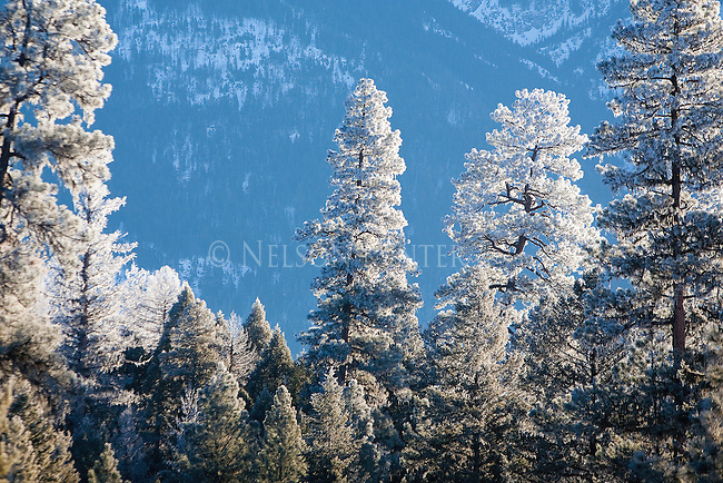 Frost covered trees and branches in the Seeley Swan valley during a Montana winter