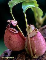 CA16-027e  Pitcher Plant - Borneo - Nepenthes bicalcarata