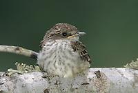 Vermillion Flycatcher, Pyrocephalus rubinus,young outside of nest, Lake Corpus Christi, Texas, USA