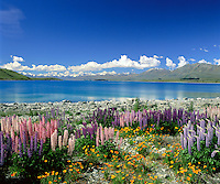 New Zealand, South Island, Lake Tekapo: View of Lake with Lupins | Neuseeland, Suedinsel, Lake Tekapo: bluehende Lupinen am See