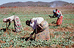 (96/39/08)-CA Shamrock-Chegutu-Zimbabwe - June 27, 1996 -- Women/mothers carrying their children while working/weeding on a plot with peas; FNS/SAN, agriculture, rural, labour, people -- Photo: © HorstWagner.eu