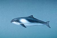 harbour porpoise, Phocoena phocoena ( illustration )