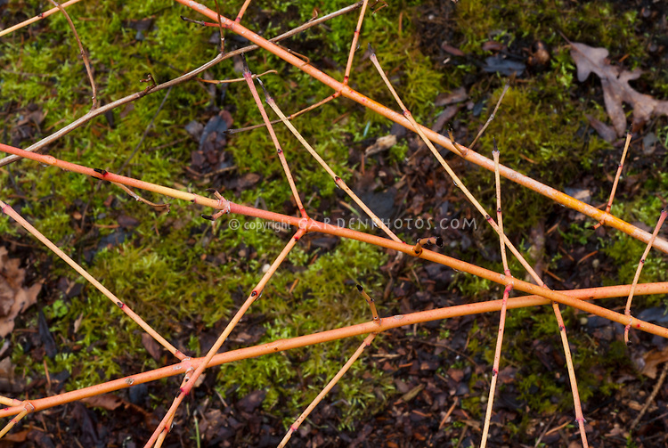 Cornus sanguinea Arctic Sun ('Cato') in winter stems