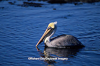 00672-00417 Brown Pelican (Pelecanus occidentalis) J.N. Ding Darling NWR   FL