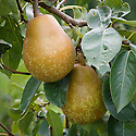 """Pear 'Merton Pride', early September. An English pear """"raised in 1941 by M.B. Crane at the John Innes Horticultural Institute, Merton, from 'Glou Morceau' x 'Double Williams'. Named 'Merton Favourite' in 1953 and renamed 'Merton Pride' in 1957. Introduced in 1959. An excellent pear for garden cultivation, as one of the juiciest pears grown and one of the best of its season. It is triploid and vigorous so it is usually best to grow it on Quince C rootstock."""" ('Pears' by Jim Arbury and Sally Pinhey)"""