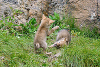 Wild Coyote (Canis latrans) pups playing.  Western U.S., June.