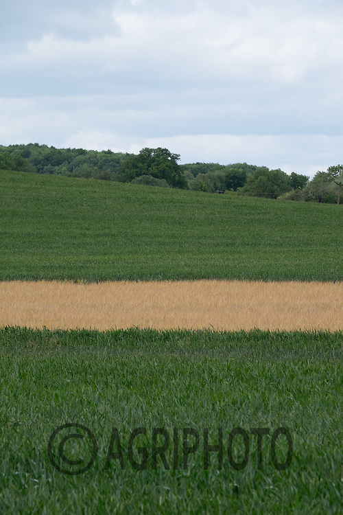 An area of Blackgrass in Winter Wheat sprayed off<br /> Picture Tim Scrivener 07850 303986