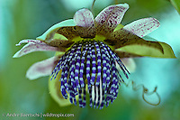 Passion flower (Passiflora crassifolia) in lowland tropical rainforest, Manu National Park, Madre de Dios, Peru.
