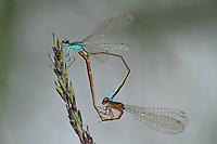 Zwerglibelle, Zwerg-Libelle, Paarung, Paarungsrad, Kopulation, Nehalennia speciosa, pygmy damselfly, sedgeling, sedgling, pairing, copulation