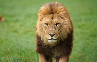 BNPS.co.uk (01202 558833)<br /> Pic: CalebHall/Longleat/BNPS<br /> <br /> The famous lions of Longleat. <br /> <br /> Longleat Safari Park has been showing the public what they've been missing during the lockdown by releasing a candid collection of pictures of their famous collection of big cats.<br /> <br /> The Wiltshire park is currently closed to the public due to COVID-19 but has been giving animal lovers an insight into the animals.<br /> <br /> They have snapped the iconic lions in a number of spots around their enclosure as well as a series of photographs of their tigers.