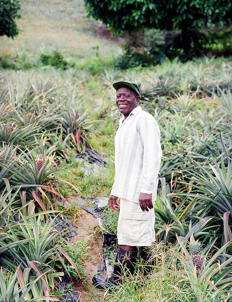 POINT MULATRE, DOMINICA : Organic farmer Heskeith Alexander inspects pineapples growing on his Selkirk Farm. Alexander sells produce to Jungle Bay  Resort. Point Mulatre, Dominica.