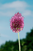 ROUND-HEADED LEEK Allium sphaerocephalon. Height to 1m. An impressive plant, whose spherical heads of reddish-pink flowers are carried on a long, slender stem (June-July). Restricted to limestone rocks in the Avon Gorge; also found on dunes on Jersey.