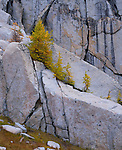 Wenatchee National Forest, WA<br /> Fall colored western larch (Larix occidentalis) growing on a granite wall in the Alpine Lakes Wilderness area
