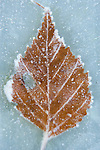 Frost covered leaf frozen on glass table top.  ©2013. Jim Bryant Photo. All Rights Reserved.