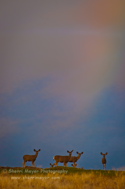 """Watchful Eyes"" - Herd of Mule Deer, Adin, Northeastern California."
