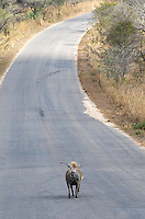 Warthogs are often seen in the bush and sometimes on the roads.