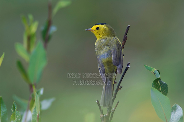 Wilson's Warbler, Wilsonia pusilla, male perched in willow, Ouray, San Juan Mountains, Rocky Mountains, Colorado, USA