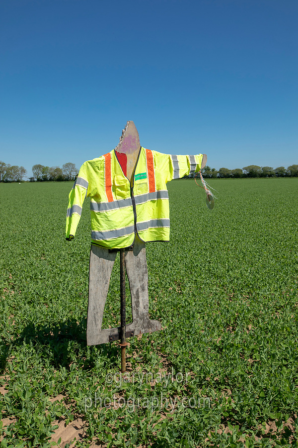 Scarecrow on peas - Lincolnshire, May