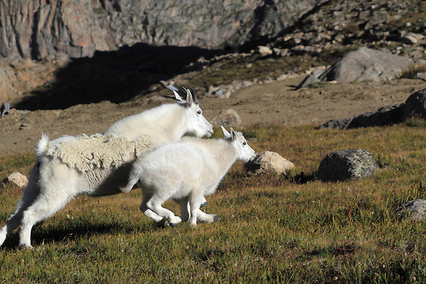 Mountain Goat nanny (Oreamnos americanus) and kid running on the slopes of Mount Evans (14250 feet), Rocky Mountains, west of Denver, Colorado, USA Guided photo tours. .  John leads private, wildlife photo tours throughout Colorado. Year-round.